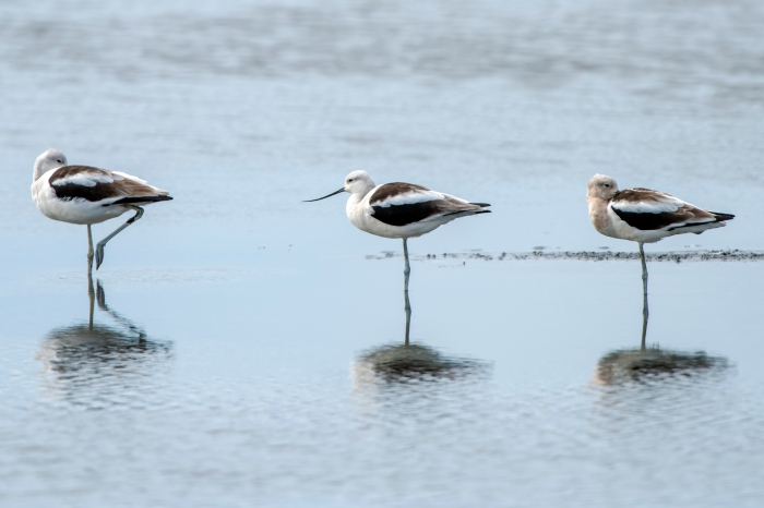 Three Little Avocets all in a row