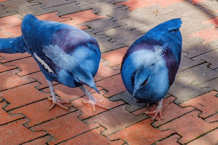 Two Blue Crowned Pigeons looking for food